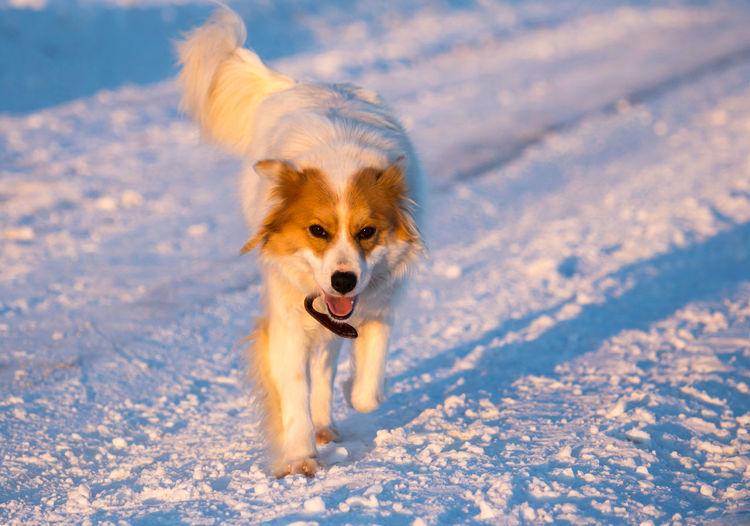 Portrait of dog running on snow field