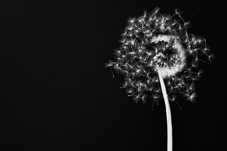 Close-up of dandelion flower against black background
