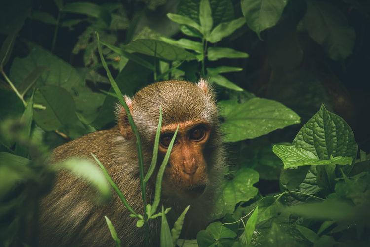 Close-up of macaque monkey among lush foliage