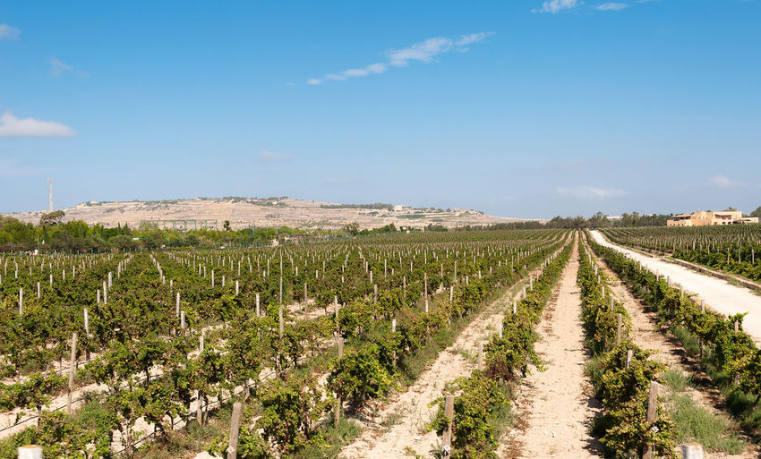 Rows of vine - Malta Agriculture Beauty In Nature Biologic Columns Convergent Field Grape Harvest Grapes Grapevine Growth Harvest Landscape Malta Nature No People Outdoors Plant Rows Scenics Vine Wine Vineyard