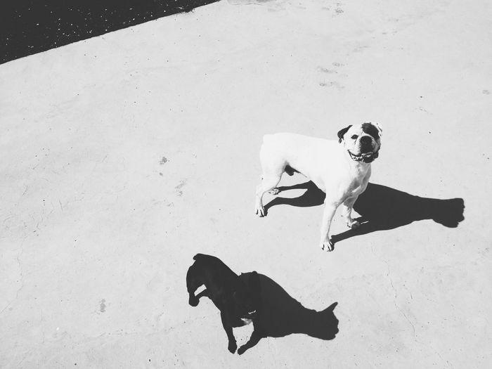 Fifty shades of grey in Lanzarote FiftyShadesOfGrey Boxer Frenchbulldog Taking Photos Hi! Shadow Play