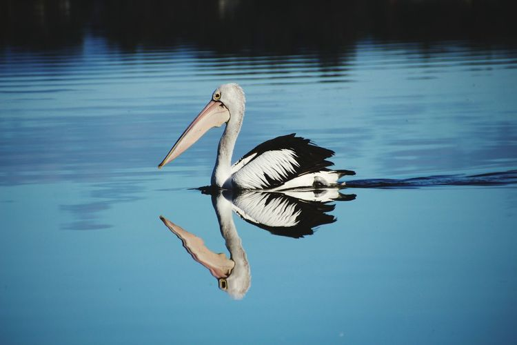Side view of pelican swimming in lake