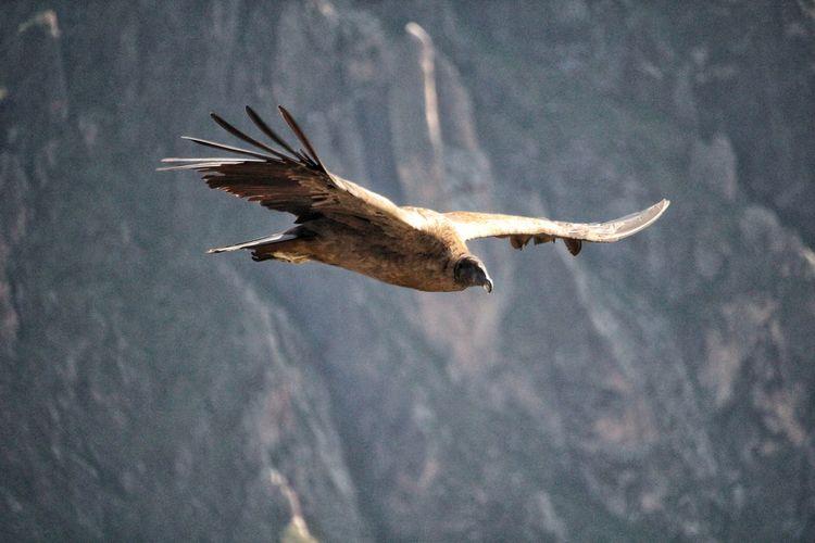 A condor. Partener Selection Cóndor  UnderSea Sea Life Sea Flying Spread Wings Animal Themes Close-up Sky