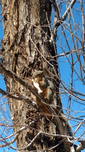 Squirle in a tree eat white bread. Alamosa Colorao taken with Motorola Droid Maxx 2 Relaxing Nature's Diversities