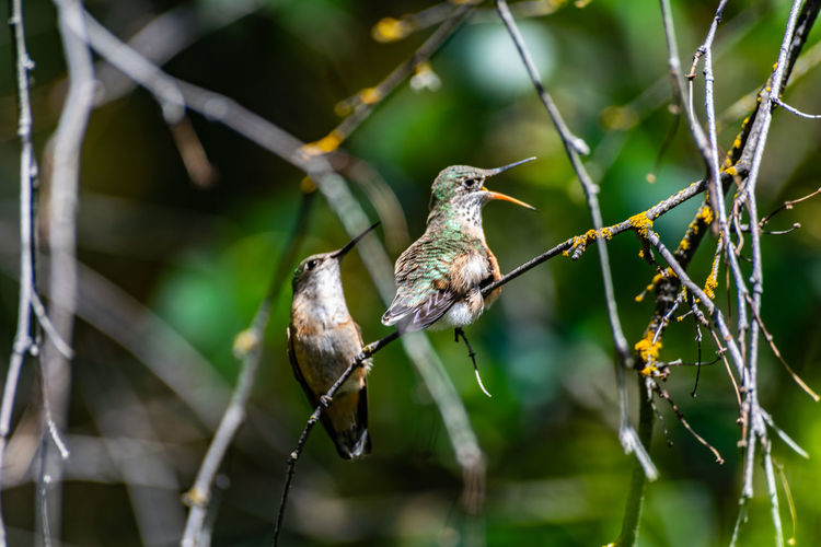 Hummingbirds on a branch Chirp Green NIKON D5300 On A Limb Wildlife Photography Animal Wildlife Animals In The Wild Beak Beauty In Nature Birds Branch Close-up Day Feather  Hummingbird Love Hummingbirds Nature Night No People Outdoors Perching Plant Selective Focus Tree The Great Outdoors - 2018 EyeEm Awards Love Is Love