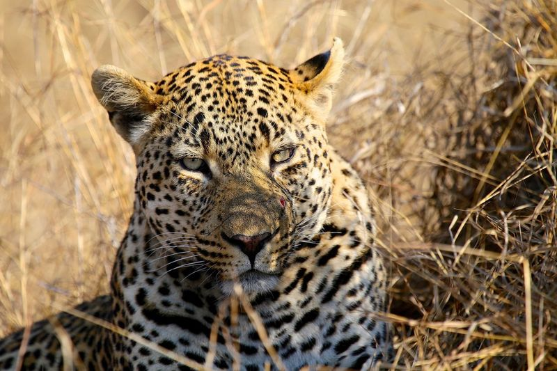 Leopard Males  Animal Wildlife Animal Relaxation Animal Head  Outdoors Safari Big Cat Nature Sabi Sands Kruger Park