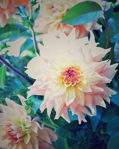 Dahlia Dahlias Flower Flowering Plant Plant Freshness Beauty In Nature Fragility Petal Plant Part No People Day Pollen Pink Color Outdoors Leaf Nature Inflorescence Growth Flower Head Close-up Vulnerability