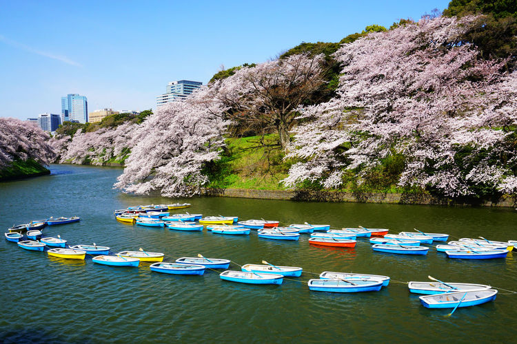 2015  Beauty In Nature Boat Cherry Blossom Cherry Blossoms Chidorigafuchi Clear Sky Day Flower Japan Landscape Nature Outdoors Pedal Boat Pink River Sky Spring Tokyo Tree Vacations Water ボード 千鳥ヶ淵 桜