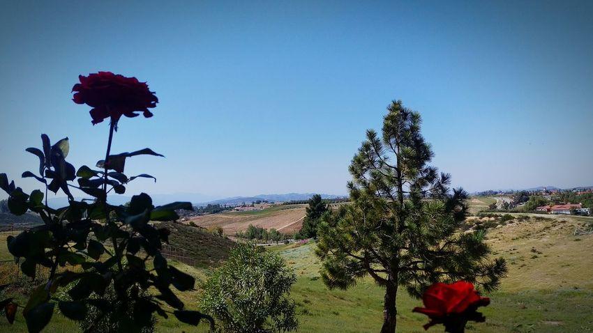 Countryside Winecountry Springtimecalifornia Blossum Roses Silouhette