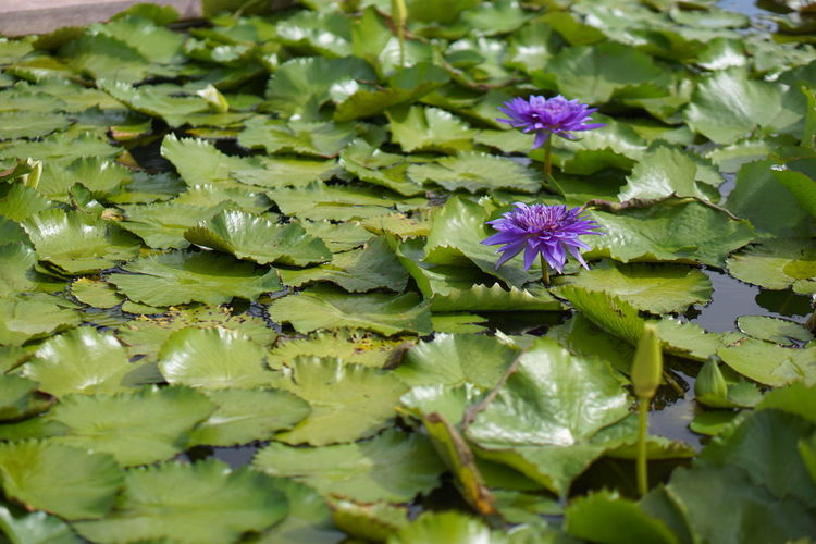 Close-up of purple lotus water lily in lake