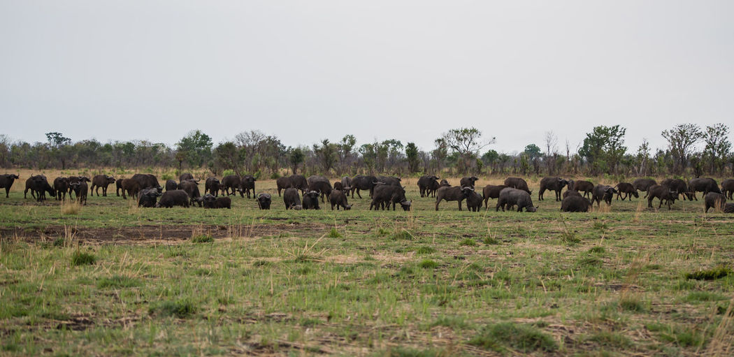 Water Buffaloes Grazing On Field Against Sky