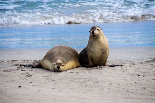 Kangaroo Island Mammal Looking At Camera Portrait Animal Themes Sea Lion Nature Sea Life No People Outdoors Lying Down Day Relaxation Water