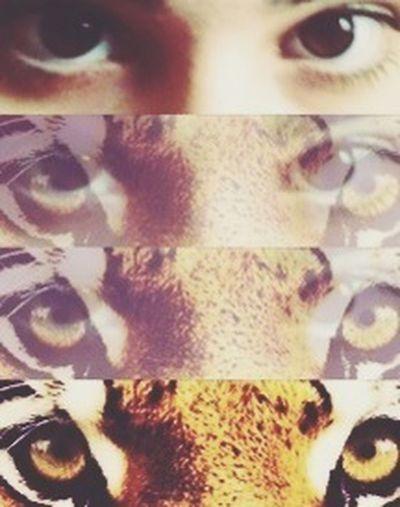 Eyes Instaeye Tiger Eyes  Myeyes