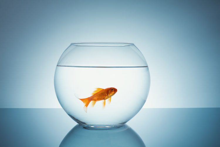 Goldfish in a bowl Alone Animal Animal Themes Blue Background Change Close-up Domestic Animals Fishbowl Gold Goldfish Goldfish Bowl Goldfish In Water Lonley Lonliness No People Pets Single Studio Shot Swimming Water