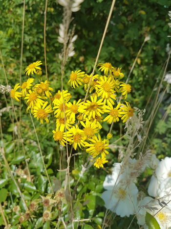 Wildflowers Beauty In Nature Blooming Blossom Close-up Day Field Flower Flower Head Fragility Freshness Garden Grass Grass Growth Leaves Nature No People Outdoors Plant Scenics Summer Wildflowers Yellow Yellow Petals