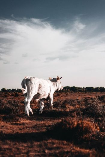 New forest Free New Forest United Kingdom Hampshire  Southampton Nature Firest Animals Wild Wilderness Adventure Sky Clouds Peace Freedom Sky Domestic Cattle Cattle Highland Cattle Cow Horned Farm Animal Calf Bull Taurus Bull - Animal