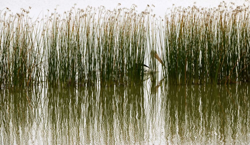 A Pelican is well hidden among the reeds of the lake Acquaticplants Beauty In Nature Bird Birds Close-up Day Grass Growth Hiding Lake Nature No People Outdoors Pelican Plant Sea Bird Summer