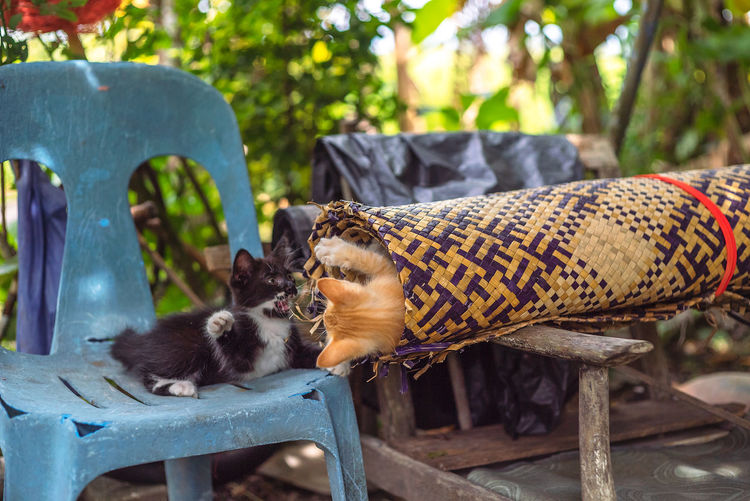 Kittens are playing at backyard Animal Bench Cats Chair Close-up Day Domestic Focus On Foreground Group Of Animals Kucing Mammal Mengkuang Mengkuang Mat Nature No People Relaxation Seat Two Animals Vertebrate Wood - Material