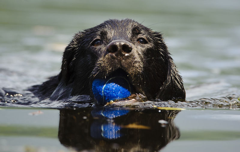 Portrait of black labrador carrying blue ball in river