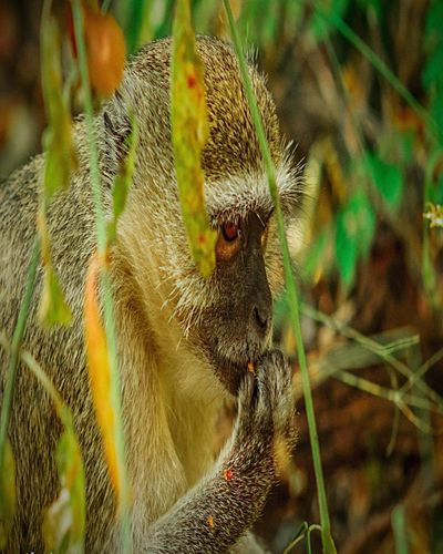 One Animal Close-up Selective Focus Mammal Focus On Foreground Day Nature New Life Whisker Green Color Beauty In Nature Zoology Check This Out EyeEm Nature Africa Zimbabwe Victoriafalls