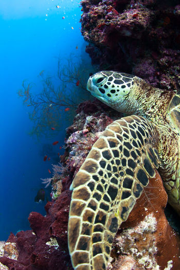 Underwater View Of Sea Turtle Relaxing On Rock
