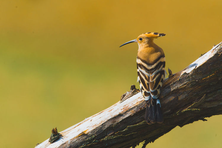 Birdwatching Nature Upupa Epops Wing Animal Wildlife Bird Branch Feather  Hoopoe Hoopoe Bird