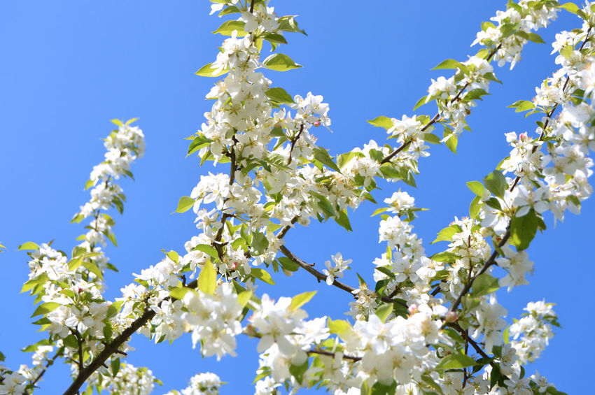 The apple trees are blooming white flowers in the city park under spring City Apple Trees  Beauty Beauty In Nature Blooming Blossom Blue Botanical Branch Cherry Blossom Cherry Tree Clear Sky Colorful Day Flower Flower Head Flowering Plant Fragility Freshness Growth Low Angle View Nature No People Outdoors Park Plant Season  Sky Spring Springtime Sunlight Tree Vulnerability  White