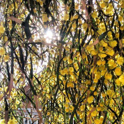 árbol árbol Tree Mimosa Sol Sun Amarillo Yellow