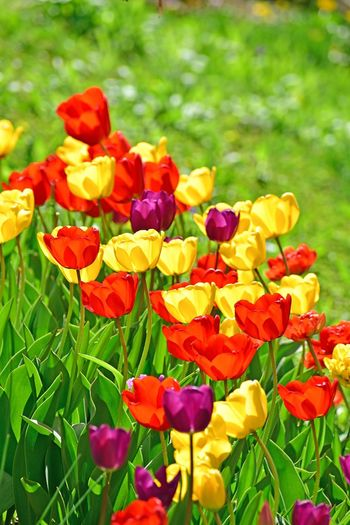 Tulips🌷 Flower Flowers Tulip Tulips Flowering Plant Flower Plant Vulnerability  Fragility Beauty In Nature Freshness Land Field Green Color No People Nature Flower Head Close-up Petal Growth Yellow Inflorescence Day Focus On Foreground