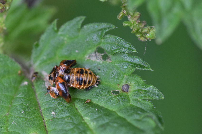 Ladybird pupa under a broken shell Animal Themes Animals In The Wild Beauty In Nature Close-up Day Green Color Growth Insect Ladybeetle Ladybeetle Pupa Ladybird Ladybird Pupa Ladybug Ladybug Pupa Leaf Nature No People One Animal Outdoors Plant