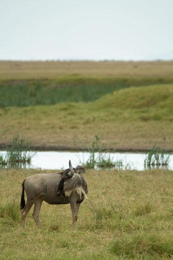 Wildebeest in a wet field