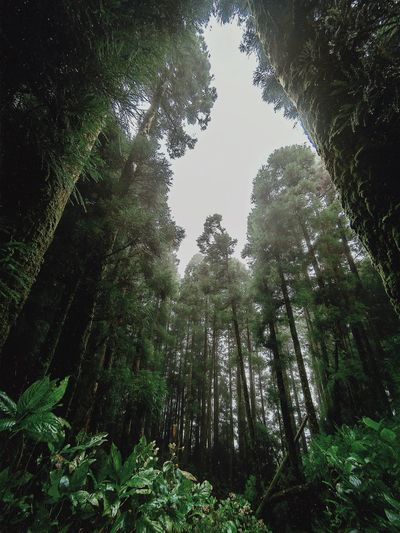 outdoors and hidden gems Simplicity Azores Adventure Travel Destinations Tree Plant Growth Low Angle View Nature No People Day Beauty In Nature Sky Green Color Forest Outdoors Tranquility Lush Foliage Foliage Leaf Plant Part