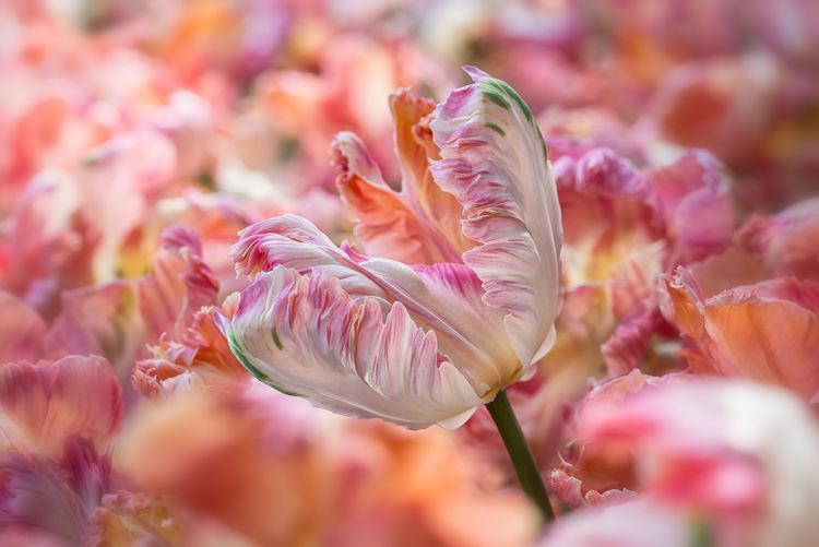 Blooming Field Of Tulips Flower Flowers Macro Photography Orange Parrot Tulip Peach Blossom Peach Parrot Tulip Red Relaxing Tulips Maximum Closeness