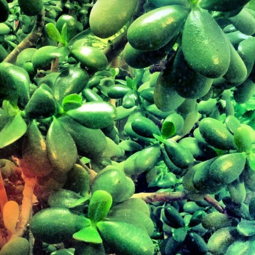 Succulents , Jadeplant