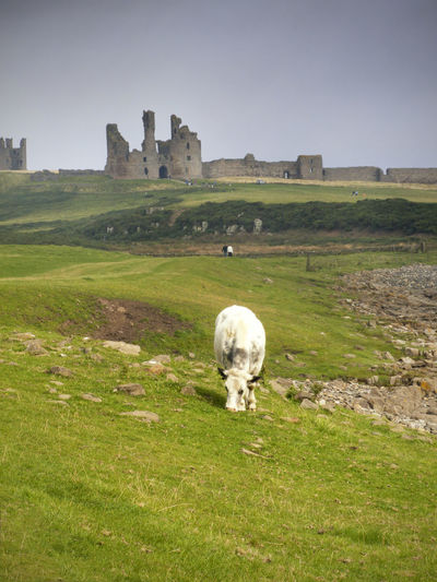 Dunstanburg Casle and cow Dunstanburgh Castle Animal Themes Architecture Beauty In Nature Built Structure Cow Day Domestic Animals Field Grass Grazing Green Color Landscape Livestock Mammal Nature One Animal Outdoors Sky