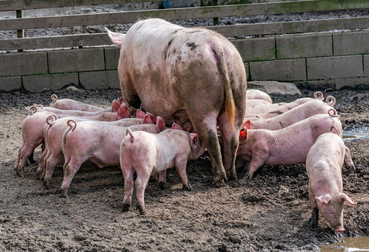 It's feeding time Feeding  Animal Animal Themes Day Farm Group Of Animals Livestock Mammal Mud No People Outdoors Pig Piglet Young Animal