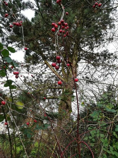 Winter Trees Malus Apfelbaum  Tree äpfelchen Outdoors Nature Growth Day Red No People Backgrounds