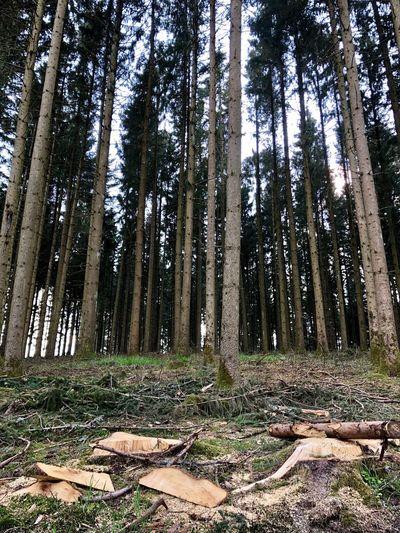 Schwarzwald Tree Forest Land Plant Trunk WoodLand Tree Trunk