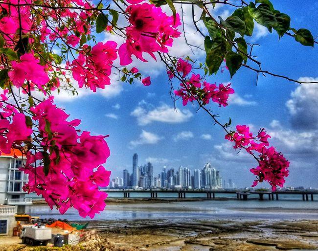 Pink flowering tree by buildings against sky