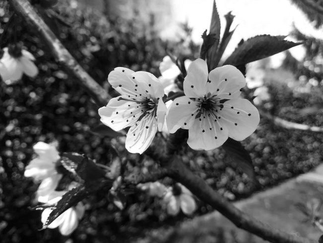 White! Spring Springtime Spring Flowers Flowering Plant White White Color Blackandwhite Black And White Black & White Flower Head Flower Flower Collection