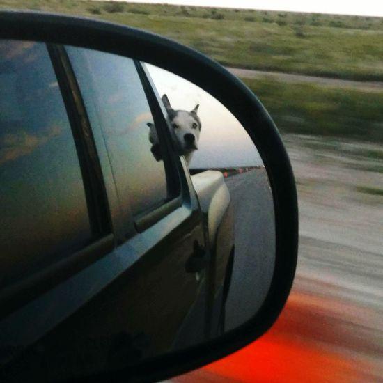 Happy Husky watching sunset loving truck ride