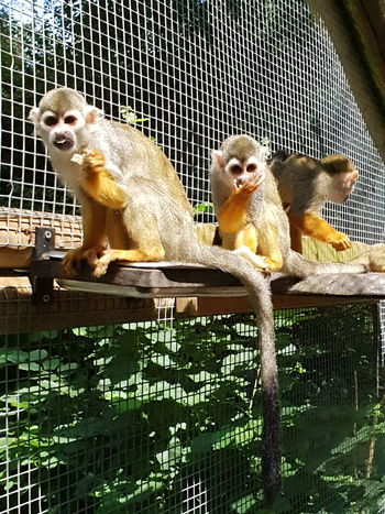 Monkeys Two Monkeys Eating Monkeys Looking At Camera Monkeys Looking At Camera EyeEm Hungry EyeEm EyeEm Here Zoo No People Wild Animal Monkey Face Monkey Eyes Nature Beauty In Nature Perching Trapped Pets Cage Animals In Captivity