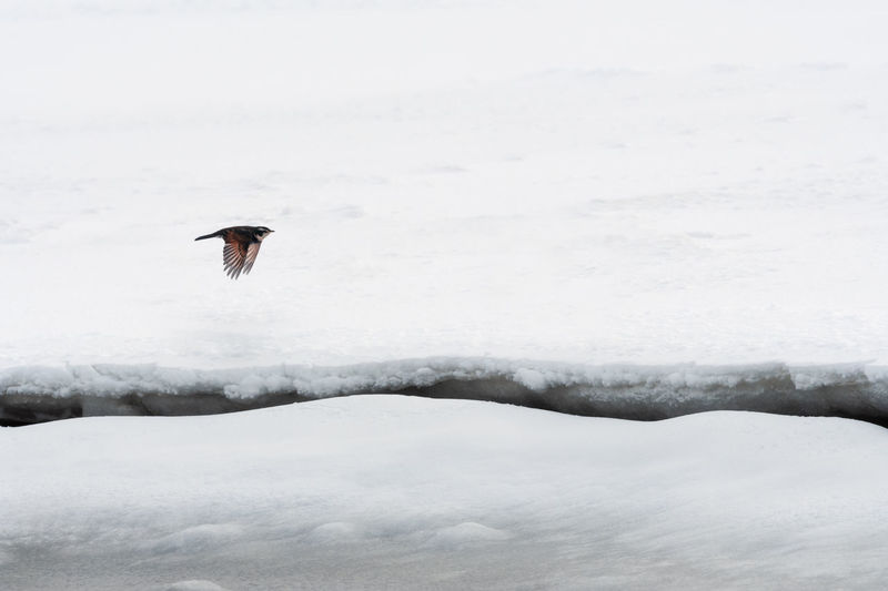 Bird flying over snow covered landscape during winter