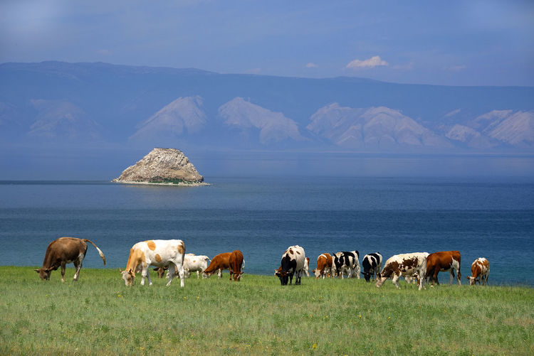 Cows grazing on field against sea