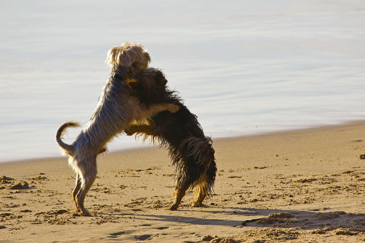 Dogs fighting at beach