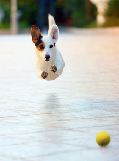Portrait of dog with ball