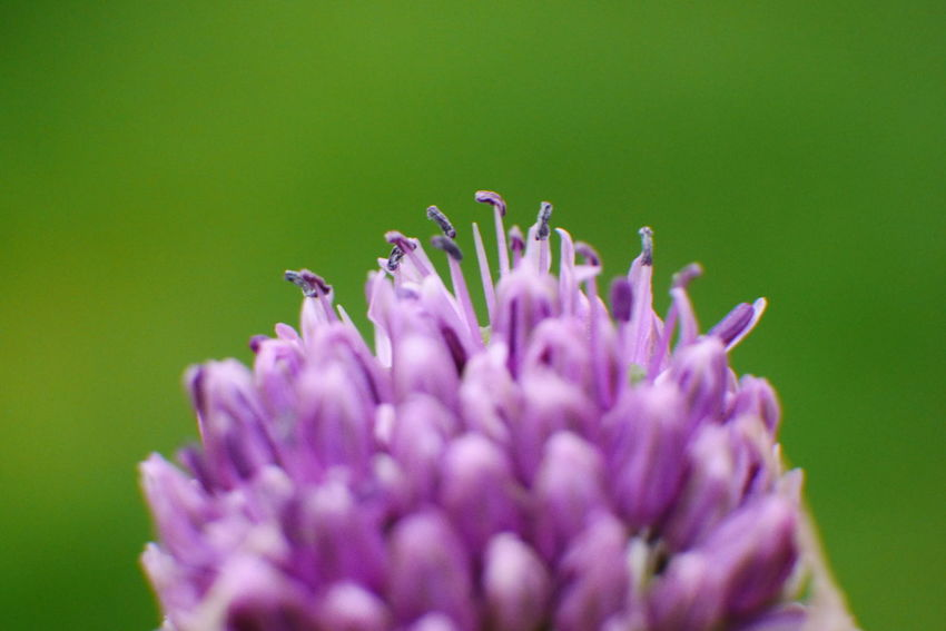 Allee allee allium. Allium Allium Flower Flower Head Blossom Nature Photography Stamen Blooming Eyeemflowerlover Beauty In Nature Eyeemflowers Macroflowerphotography Purple Macroflower Plant