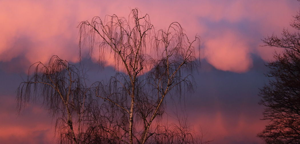 Evening Light Purple Rain Tree In Sunset Bare Tree Beauty In Nature Day Evening Sky Forest Fire Lined Sky Nature No People Outdoors Silver Birch Sky Sunset Tree Weeping White Tree