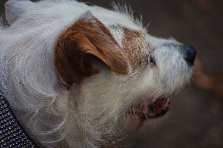terrier Animal Hair Animal Nose Animal Themes Close-up Day Dog Domestic Animals Focus On Foreground Jack Russell Mammal Nature No People One Animal Outdoors Parsonsjackrussell Pets Terrier Terrier Dog.