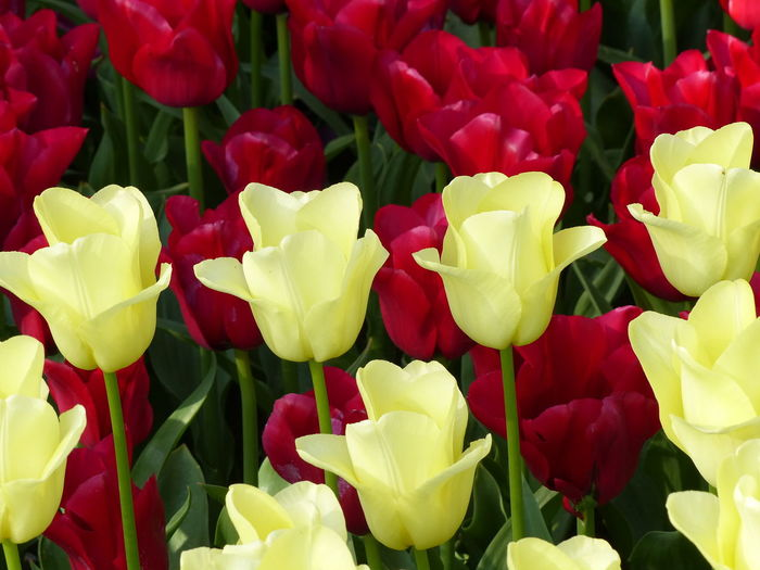 Full frame of yellow tulip blooming outdoors